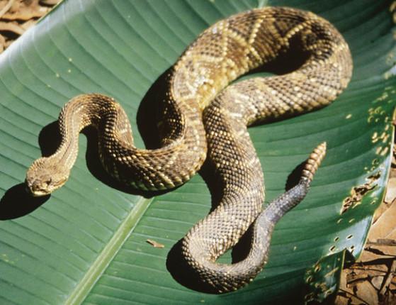 Serpente venenosa sai de calça de homem após picá-lo; assista vídeo