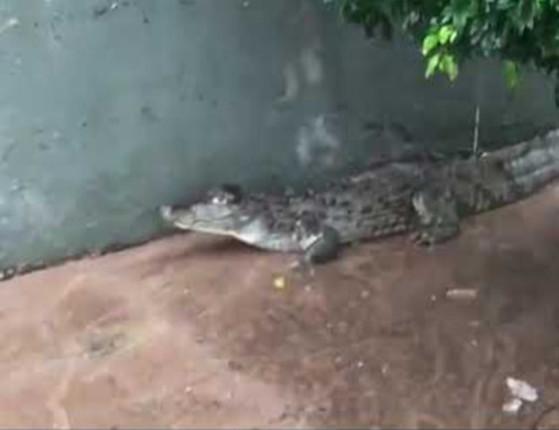 Jacaré invade pracinha após lagoa transbordar em São Luís; assista