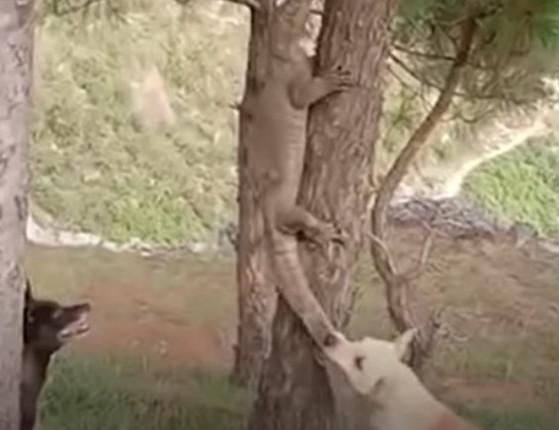 Cachorros travam intensa batalha com lagarto gigante na Índia; vídeo
