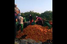 Sem energia: Mais de 5 toneladas de caju vão para o lixo no Piauí