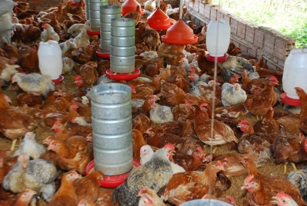 Famílias de assentamento criam galinhas caipiram e vão instalar abatedouro  - Imagem 5