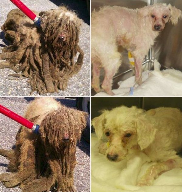Cães têm pelagem raspada e ficam