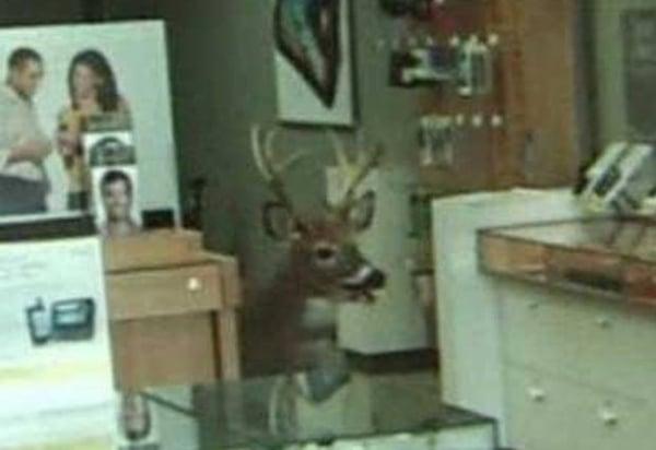 Veado invade loja e é flagrado por câmeras; veja imagem!