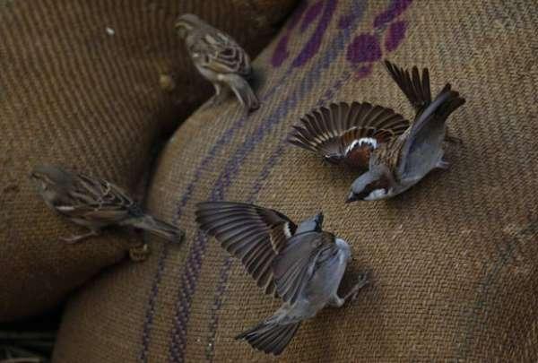 Pardais são fotografados brigando em cima de sacos de arroz no Nepal