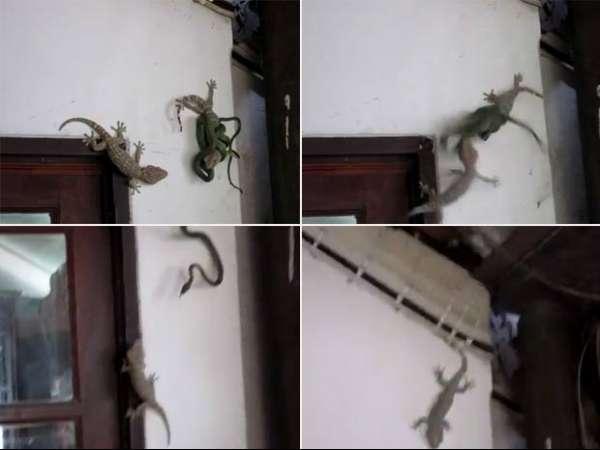 Lagartixa ataca cobra para salvar companheiro