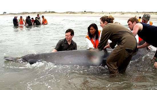 Três baleias encalham e mais jovem delas acaba morrendo