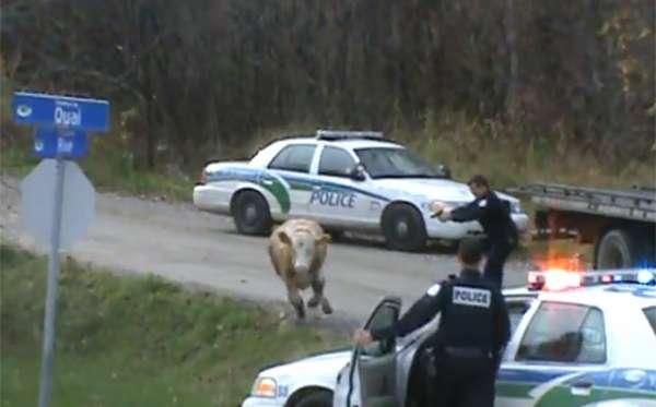 Polícia canadense provoca polêmica ao atirar em vaca fujona