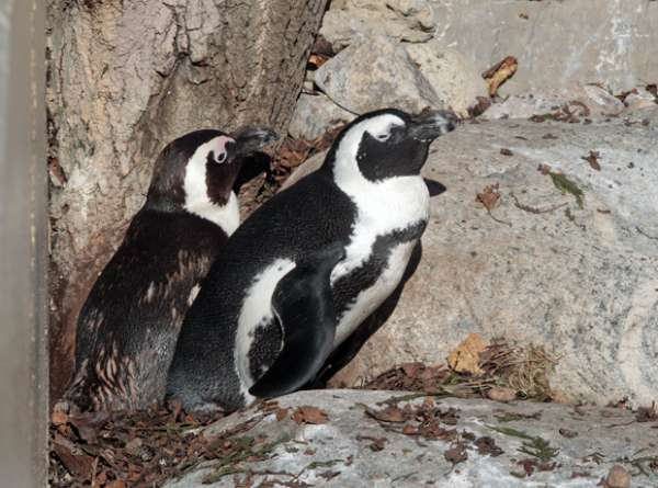 Casal de pinguins gays do Canadá recebe nome de