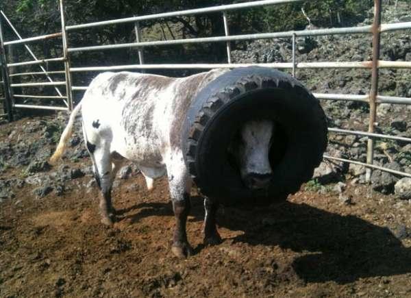 Touro fica com pneu entalado na cabeça por cerca de 20 horas