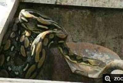 Funcionário leva susto ao achar cobra de 2 m em sistema de esgoto