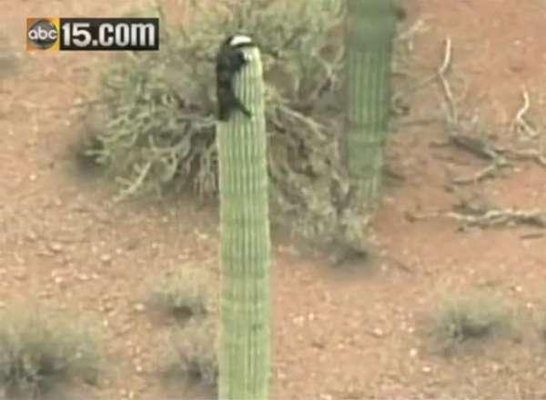Gato que desceu de cacto após três dias vira celebridade no Arizona