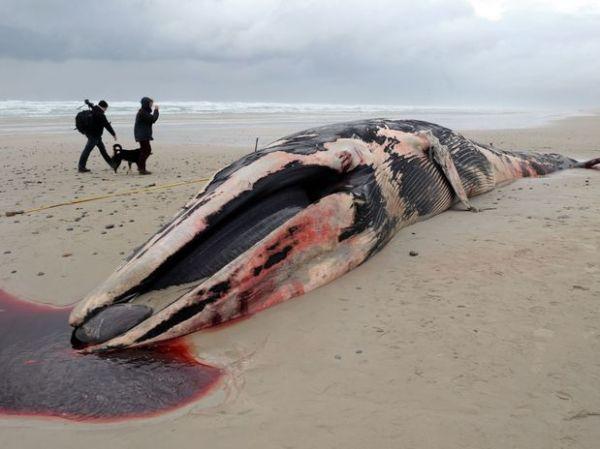 Baleia de 20 toneladas é encontrada morta em praia da França