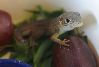 Homem leva susto ao encontrar lagarto em um cacho de uvas