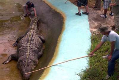 Filipinos capturam crocodilo de 6,2 metros e tentam recorde