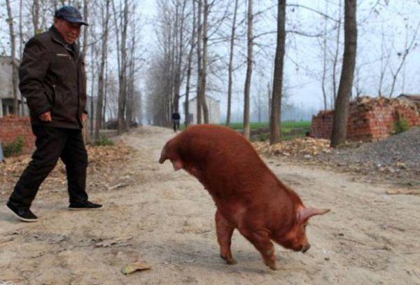 Porco que anda com duas patas faz sucesso na China; fotos