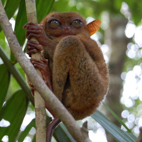 Primata que se parece com mestre Yoda é fotografado nas Filipinas