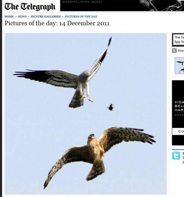 Fotógrafo flagra falcão soltando presa para fêmea em pleno voo