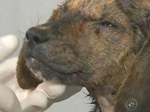 Tratamento de cão enterrado vivo por 12 horas vai durar 4 meses