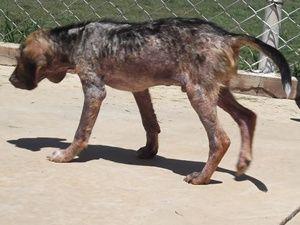Cão enterrado vivo já anda e come sozinho, afirma veterinária