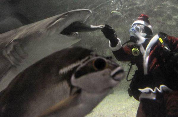 Papai Noel dá comida na boca de tubarões em aquário australiano