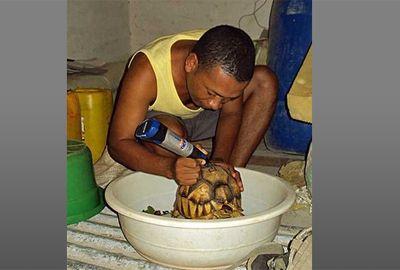 Tartarugas raras são