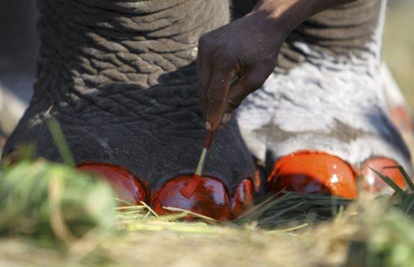 Elefante tem unhas pintadas no Nepal