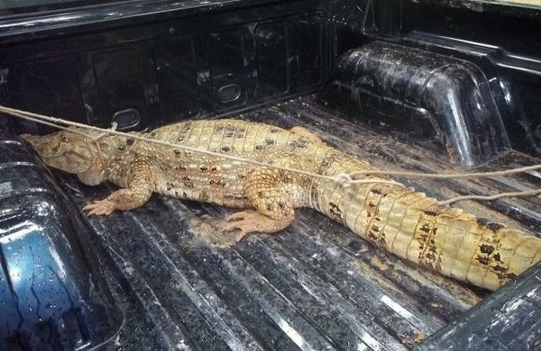 Jacaré de quase 2 metros é capturado por populares na BA