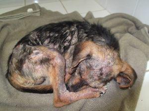 Cachorro enterrado vivo passará por cirurgia, dizem veterinários