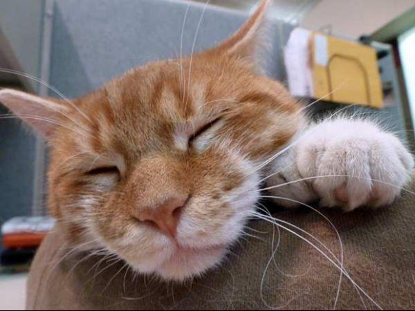 Gato com 26 dedos vira estrela de campanha de doações
