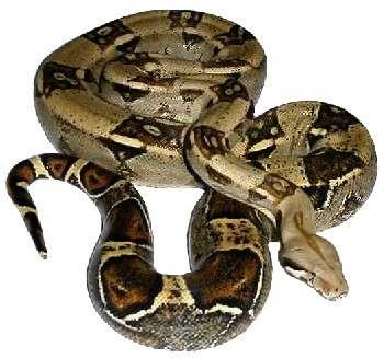 A incrível cobra jibóia não tem veneno e mata por asfixia