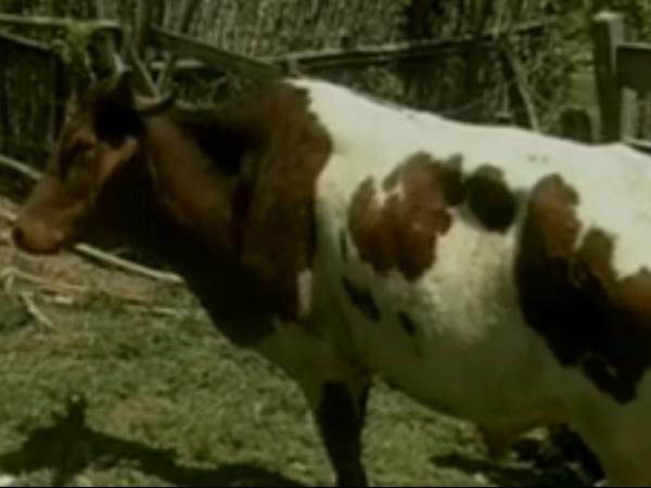 Boi com três chifres vira atração no Estado de Minas Gerais