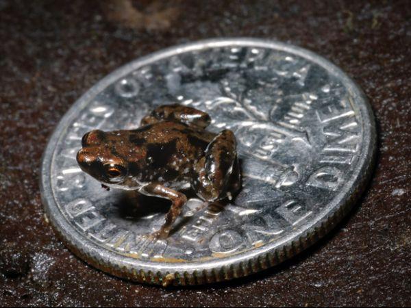 Rã de 7,7 milímetros é considerada o menor vertebrado do mundo