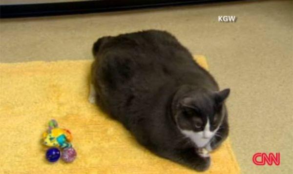Gato obeso terá que passar por dieta nos Estados Unidos