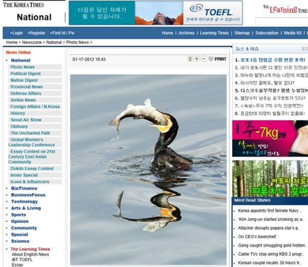 Corvo-marinho é visto devorando peixe enorme na Coreia do Sul
