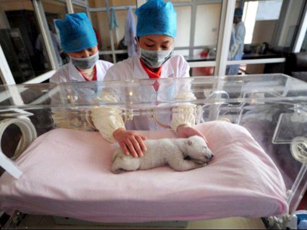 Filhote de urso polar rejeitado pela mãe é exibido a turistas