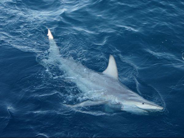 Tubarão híbrido é descoberto pela 1ª vez em águas australianas