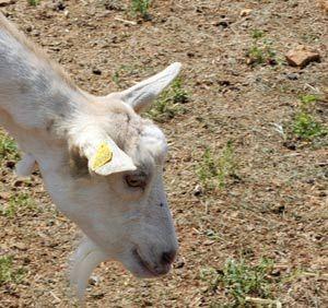 Donos querem que flagrado em ato sexual com cabra se case com animal
