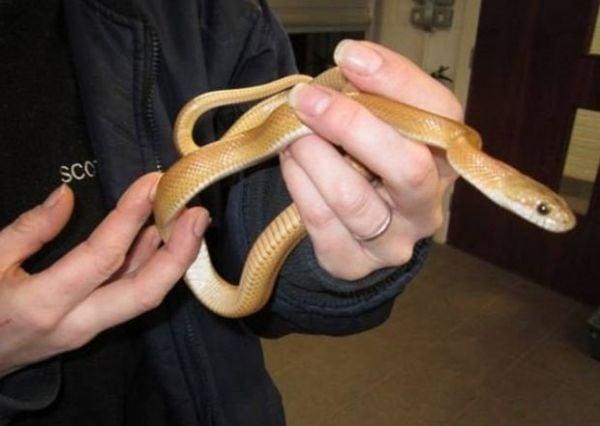 Cobra é capturada após ser encontrada em pub britânico