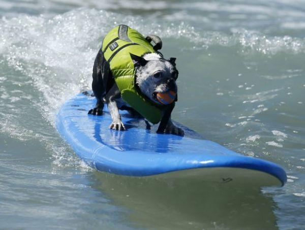Cães mostram talento ao pegar onda em praia da Califórnia