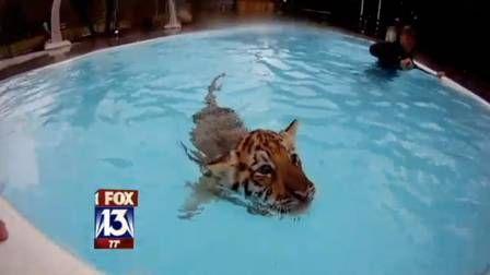Público pode nadar com tigres em zoológico nos Estados Unidos