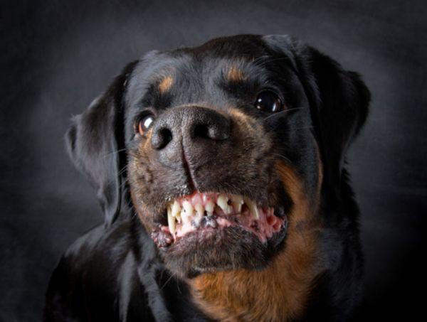 Traficantes dão heroína a cães para torná-los agressivos e atacar policiais