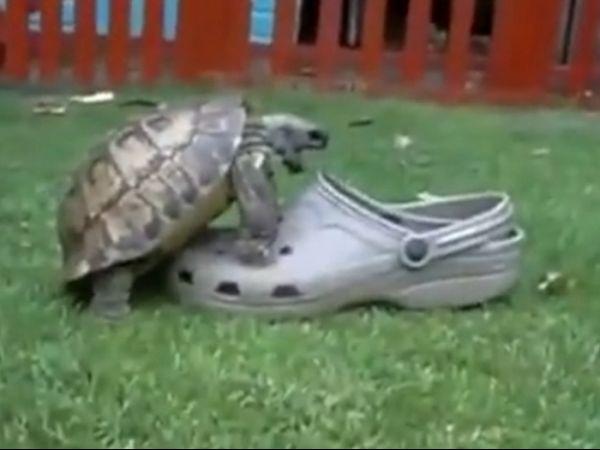 Tartaruga confunde chinelo com namorada e começa relação casca grossa
