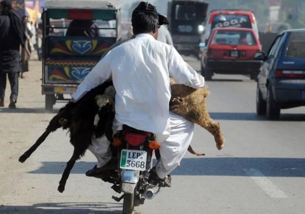 Homem transporta carneiros vivos em moto no Paquistão
