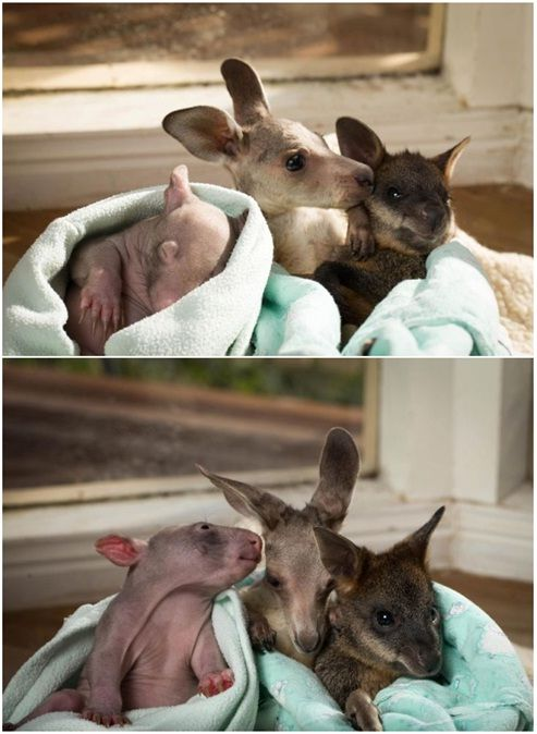 Trio de amigos órfãos reúne canguru, vombate e wallaby