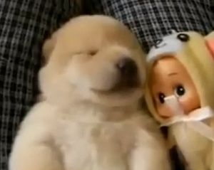 Vídeo se torna popular por compilar cenas de cãezinhos tirando uma soneca