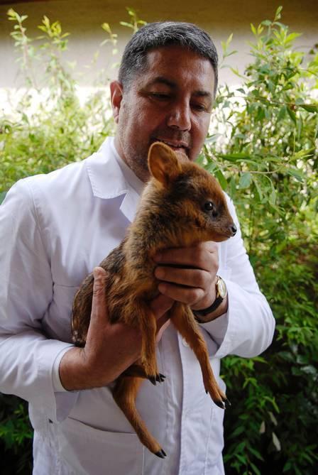 Espécie rara do menor ?bambi? do mundo é encontrada no Chile