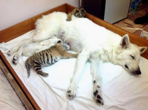 Vídeo de cadela que â??adotaâ?? tigres abandonados vira hit no YouTube