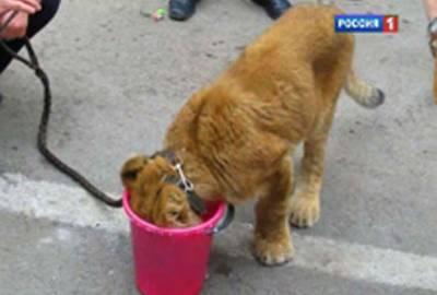 Crianças acham filhote de leão e o levam para escola na Rússia