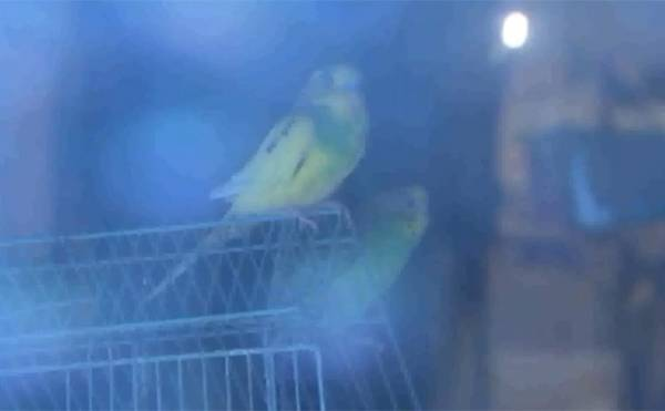Americano acumula 479 aves em casa e pode levar multa de R$ 26 mil