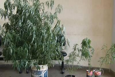 Polícia prende jovem que cultivava pé de maconha de quase 2 m em casa
